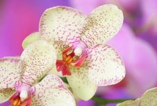 Free Orchid Royalty Free Stock Photos - 18084188