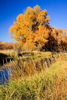 Free Orange Cottonwood Tree At Peak Color Stock Image - 18084311