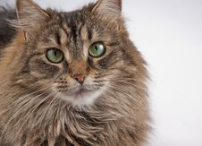 Tabby Cat On A White Background Royalty Free Stock Photography