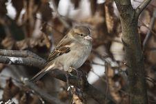 Free Tree Sparrow Stock Image - 18084661