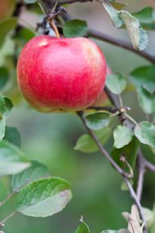 Free Red Big Apple On A Branch With Green Leaves Stock Photos - 18085183