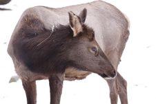 Free American Elk Stock Photos - 18085283