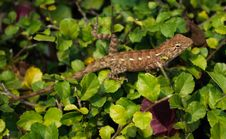 Free Lizard On The Leaves Of The Bush Stock Photos - 18085463