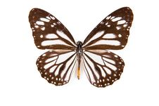Free Black And White Butterfly Danaus Melanipus Stock Image - 18085581