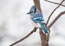 Single Blue Jay Sits On A Tree Branch Royalty Free Stock Image
