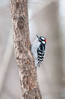 Free Downy Woodpecker Sits On The Tree Trunk Royalty Free Stock Photo - 18085745