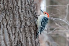 Free Red Bellied Woodpecker Sits On The Tree Stock Photos - 18085773