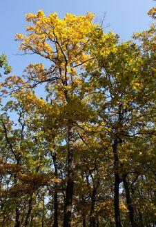 Free Autumn Tree Royalty Free Stock Image - 18085986