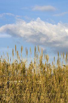 Free Reeds Stock Photos - 18086923