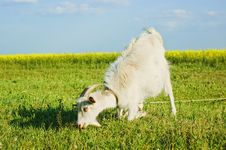 Free Goat Grazing On A Meadow Stock Photos - 18087153