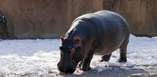 Free Hippo In The Snow Stock Photo - 18087300