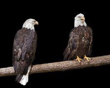 Free Bald Eagle Debate Stock Images - 18087324