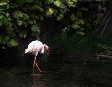 Free Flamingo Royalty Free Stock Photography - 18087507