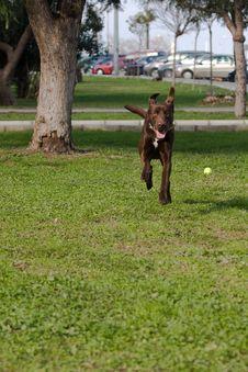 Free Chocolate Labrador Royalty Free Stock Image - 18087616