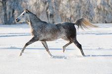 Free White Arabian Horse Runs In Winter Royalty Free Stock Photography - 18088957