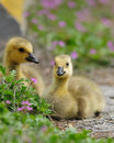 Free Goslings Stock Photography - 18090572