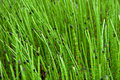 Free Closeup On Green Grass Sticks In Wetlands Stock Photography - 18095142