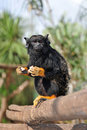 Free Red-Handed Tamarin Stock Photo - 18096830