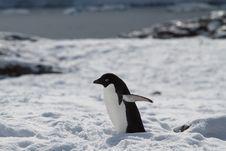 Adelie Penguin In Snow Royalty Free Stock Photo
