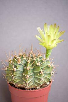 Free Cactus Flowers Royalty Free Stock Photos - 18091438