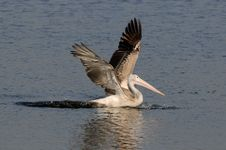 Free Spot Billed Pelican Stock Photography - 18091542