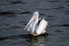 Free Spot Billed Pelican Royalty Free Stock Photo - 18091705