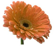 Free Gerbera Stock Photo - 18094230