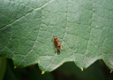 Ant On A Leaf Of A Grapes A Close Up Stock Photography
