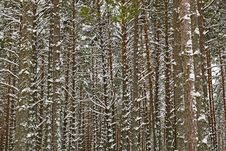 Free Winter Pine Forest Royalty Free Stock Images - 18095549