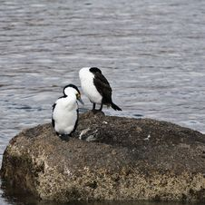 Free Little Pied Cormorants Stock Images - 18095694