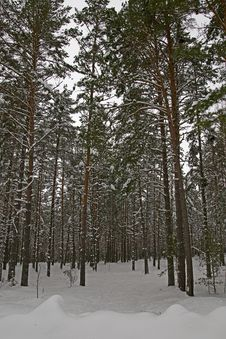 Free Winter Pine Forest 3 Stock Photography - 18095712