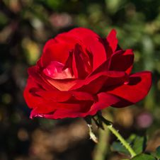 Beautiful Red Rose Flower Stock Image