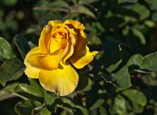 Free Beautiful Yellow Rose Flower Stock Image - 18095841