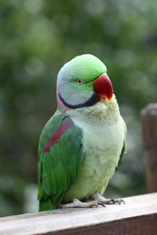 Free Green Parrot Stock Images - 18096164
