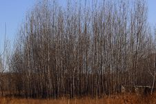 Free Poplar Trees In Winter Royalty Free Stock Photos - 18096528