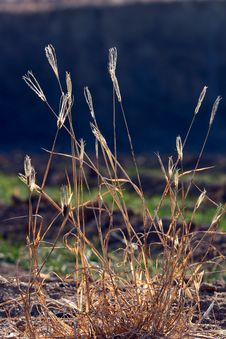Free Dry Grass  In Backlit Royalty Free Stock Images - 18096719