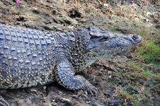 Free Cuban Crocodile Stock Image - 18096781
