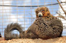 Free Brown Lemur Stock Photo - 18096900