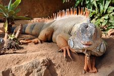 Free Iguana Royalty Free Stock Image - 18096986