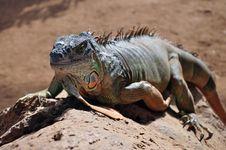Free Iguana Royalty Free Stock Photos - 18097238