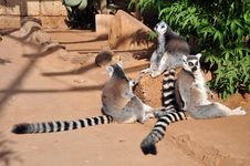 Free Ring-Tailed Lemur Royalty Free Stock Photo - 18097285