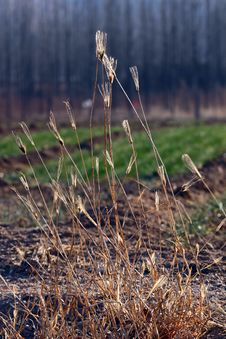 Free Dry Grass  In Backlit Royalty Free Stock Photo - 18097525