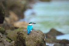 Free Collared Kingfisher Staring Royalty Free Stock Images - 18097959