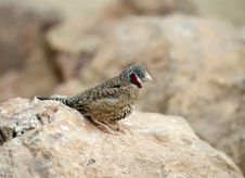 Free Cut Throat Finch Royalty Free Stock Image - 18098476