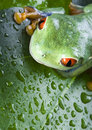Free Red Eyed Leaf Frog Royalty Free Stock Images - 1818599