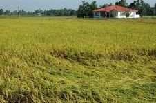 Free Countryside Paddy Field Royalty Free Stock Photography - 1810267