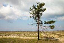 Loneliness Pine Tree Royalty Free Stock Photography