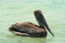 Close-up Of Pelican Stock Photography