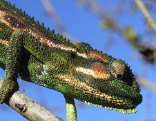 Free Chameleon Stock Photos - 1813193