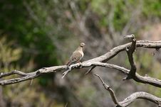 Free Mourning Dove Royalty Free Stock Image - 1815326